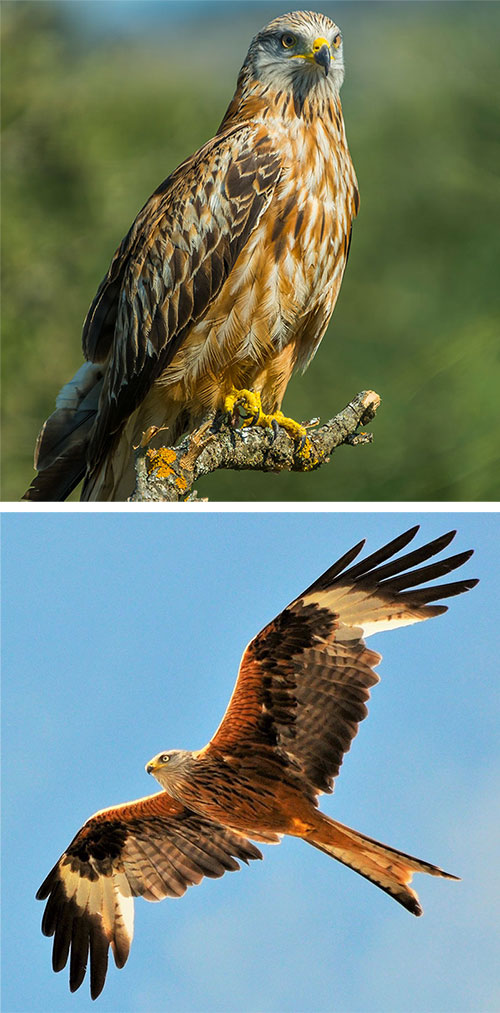 Identifying Birds Of Prey Barrettine Environmental Health