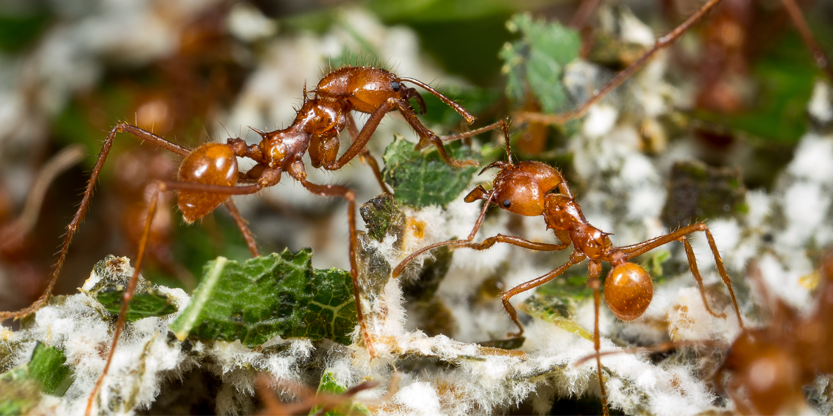 Deadly Mind-Controlling Predatory Fungus turning Ants into 'Zombies' Discovered