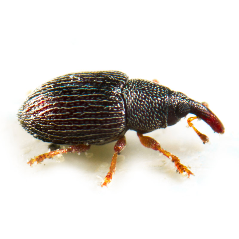 Grain & Rice Weevils