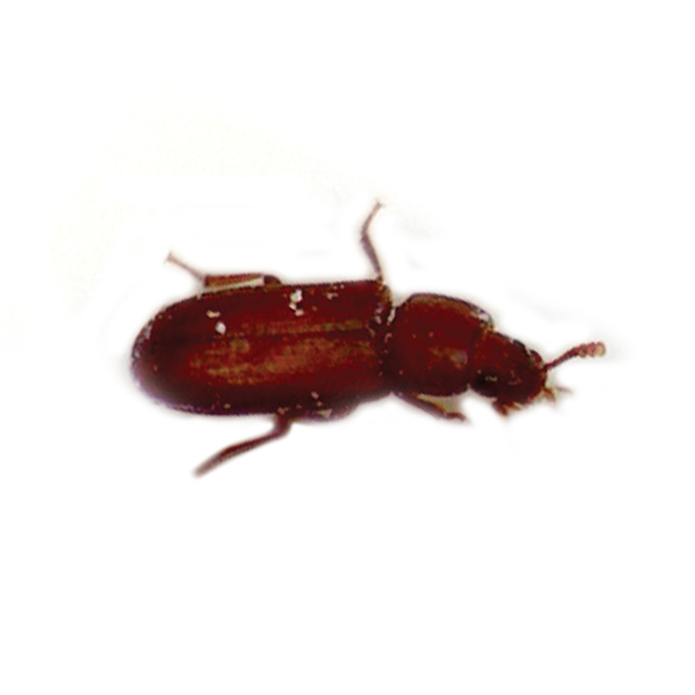 how to get rid of grain and flour beetles